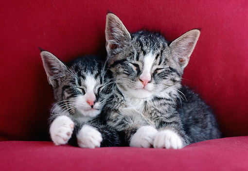 CAT 03 GR0873 01 © Kimball Stock Close-Up Of Two Gray And White Tabby Kittens Sleeping On Red Couch