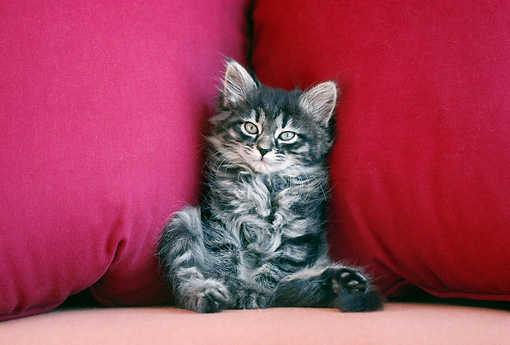 CAT 03 GR0877 01 © Kimball Stock Gray Tabby Kitten Sitting On Red Couch