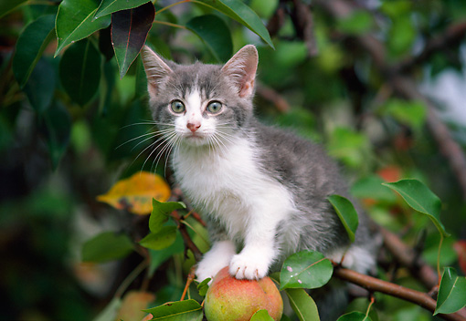CAT 03 GR0884 01 © Kimball Stock Gray And White Tabby Kitten Sitting On Apple Tree Branch