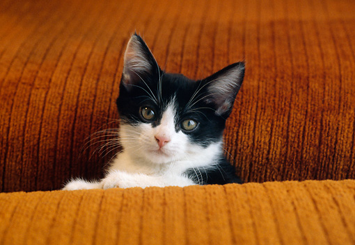 CAT 03 GR0887 01 © Kimball Stock Black And White Kitten Peeking From Between Brown Cushions