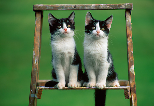 CAT 03 GR0888 01 © Kimball Stock Two Black And White Kittens Sitting On Ladder