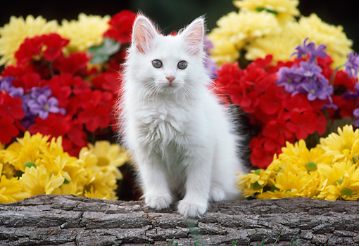 CAT 03 GR0889 01 © Kimball Stock White Kitten Sitting On Log By Flowers