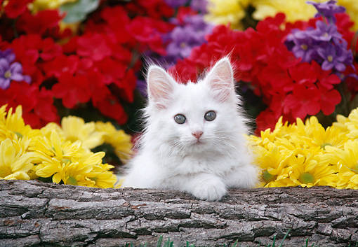 CAT 03 GR0890 01 © Kimball Stock White Kitten Peeking Over Log By Flowers