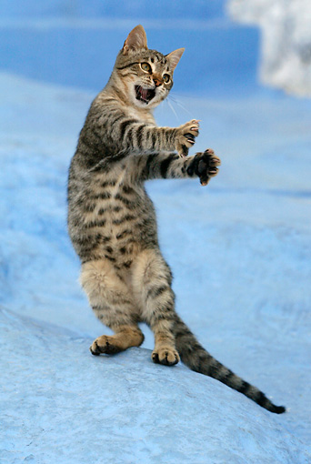 CAT 03 KH0106 01 © Kimball Stock Tabby Greek Island Kitten On Hind Legs Reaching Out With Claws To Catch Insect