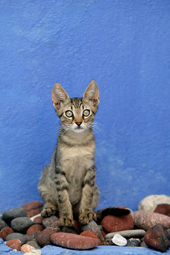 CAT 03 KH0107 01 © Kimball Stock Tabby Greek Island Kitten Sitting On Rocks By Blue Wall