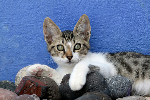 CAT 03 KH0108 01 © Kimball Stock Tabby And White Greek Island Kitten Laying On Rocks By Blue Wall