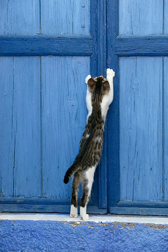 CAT 03 KH0111 01 © Kimball Stock Tabby And White Greek Island Kitten Scratching On Blue Wooden Door