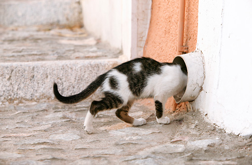 CAT 03 KH0113 01 © Kimball Stock Tabby And White Greek Island Kitten Crawling Into Drain Pipe