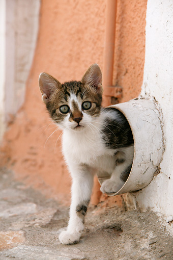 CAT 03 KH0114 01 © Kimball Stock Tabby And White Greek Island Kitten Crawling Out Of Drain Pipe
