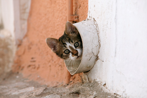 CAT 03 KH0115 01 © Kimball Stock Tabby And White Greek Island Kitten Peeking Out Of Drain Pipe