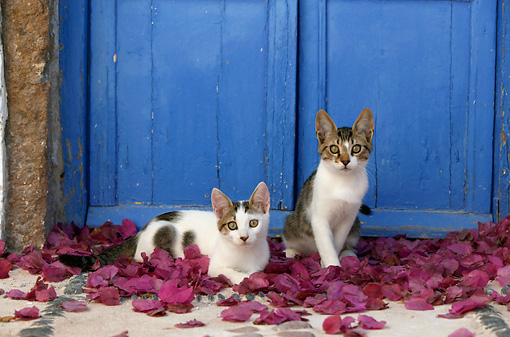CAT 03 KH0122 01 © Kimball Stock Two Tabby And White Greek Island Kittens Sitting In Purple Petals By Blue Wooden Door