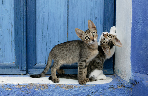 CAT 03 KH0123 01 © Kimball Stock Two Tabby Greek Island Kittens Standing In Front Of Blue Wooden Door