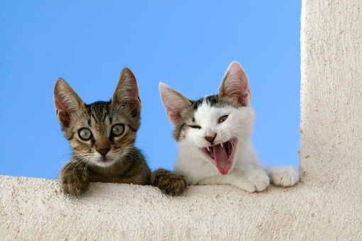 CAT 03 KH0124 01 © Kimball Stock Two Tabby Greek Island Kittens Peering Over White Wall, One Yawning