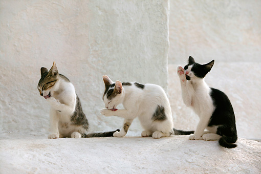 CAT 03 KH0127 01 © Kimball Stock Tabby And Black And White Greek Island Kittens Sitting Licking Paws On White Wall