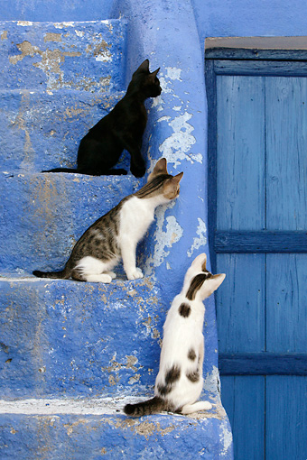 CAT 03 KH0128 01 © Kimball Stock Three Greek Island Kittens Sitting On Blue Stairs Looking At Wooden Door
