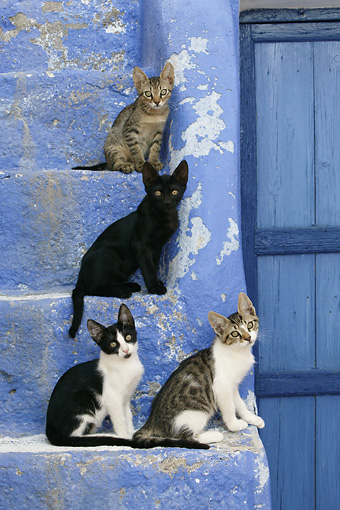 CAT 03 KH0129 01 © Kimball Stock Four Greek Island Kittens Sitting On Blue Stairs