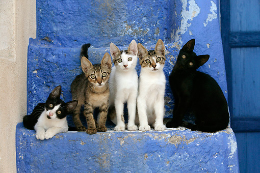 CAT 03 KH0130 01 © Kimball Stock Five Greek Island Kittens Sitting On Blue Stairs