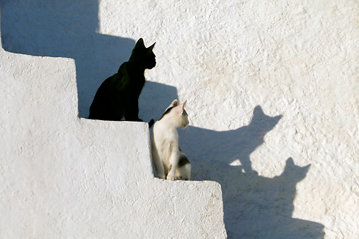CAT 03 KH0132 01 © Kimball Stock Two Greek Island Kittens Sitting On White Stairs Looking At Their Shadows