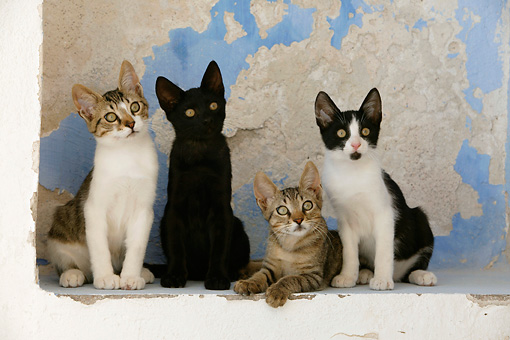 CAT 03 KH0133 01 © Kimball Stock Four Greek Island Kittens Sitting On White Wall Alcove