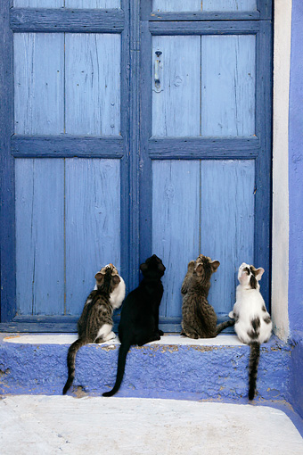 CAT 03 KH0134 01 © Kimball Stock Four Greek Island Kittens Sitting Looking Up At Blue Wooden Door