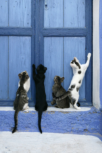 CAT 03 KH0135 01 © Kimball Stock Four Greek Island Kittens Standing And Sitting Looking Up At Blue Wooden Door