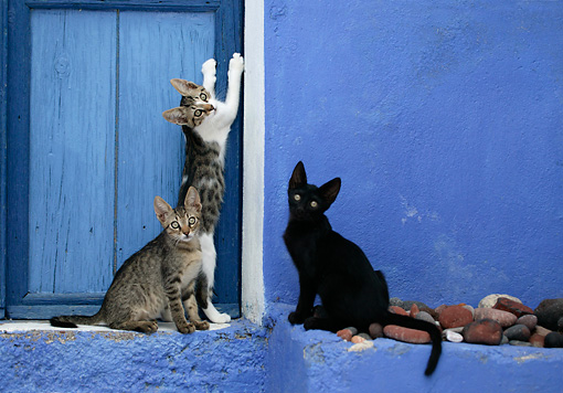 CAT 03 KH0136 01 © Kimball Stock Three Greek Island Kittens Sitting By Blue Wooden Door