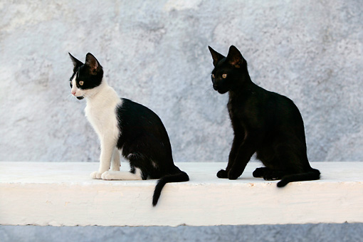CAT 03 KH0141 01 © Kimball Stock Black And White And Black Greek Island Kittens Sitting On White Wall