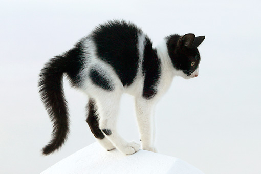 CAT 03 KH0145 01 © Kimball Stock Black And White Greek Island Kitten Standing On White Wall Arching Back