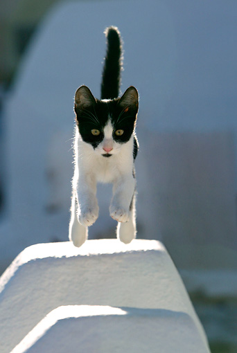 CAT 03 KH0146 01 © Kimball Stock Black And White Greek Island Kitten Jumping Over Gap In White Wall