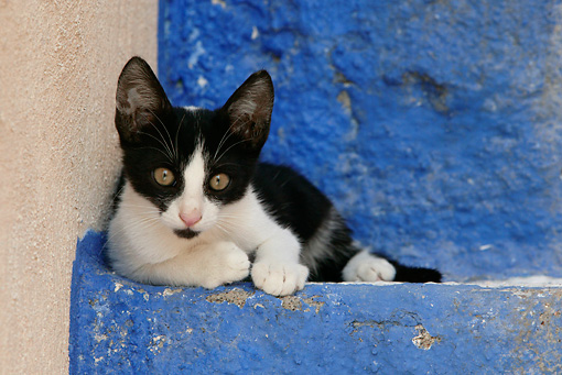 CAT 03 KH0148 01 © Kimball Stock Black And White Greek Island Kitten Laying On Blue Stairs