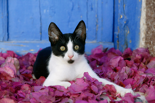 CAT 03 KH0151 01 © Kimball Stock Black And White Greek Island Kitten Laying In Purple Petals By Blue Wooden Door