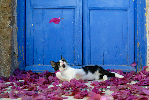 CAT 03 KH0152 01 © Kimball Stock Black And White Greek Island Kitten Laying In Purple Petals By Blue Wooden Door Watching Petal Fall
