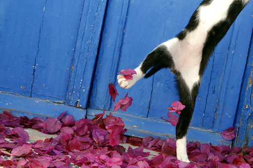 CAT 03 KH0153 01 © Kimball Stock Black And White Greek Island Kitten Leaping Out Of Purple Petals By Blue Wooden Door