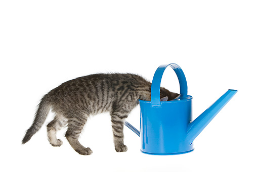 CAT 03 KH0160 01 © Kimball Stock Tabby Kitten Peeking Into Watering Can On White Seamless