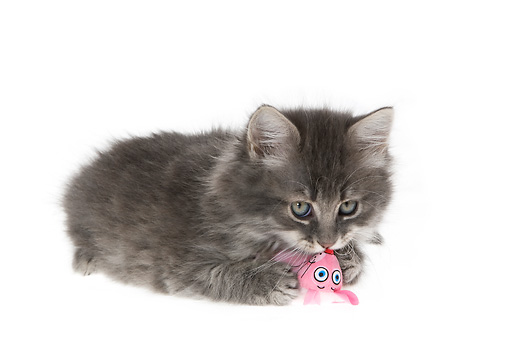CAT 03 KH0163 01 © Kimball Stock Gray Kitten Laying Kissing Toy On White Seamless