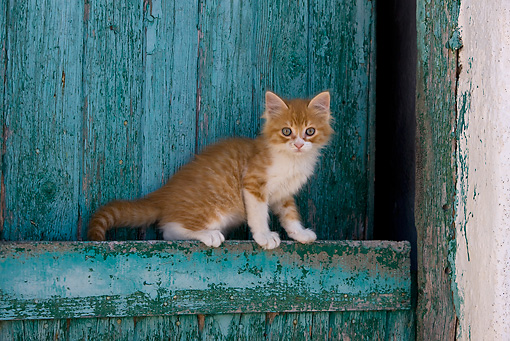 CAT 03 KH0185 01 © Kimball Stock Orange Tabby And White Greek Island Kitten Sitting By Green Wooden Shutter