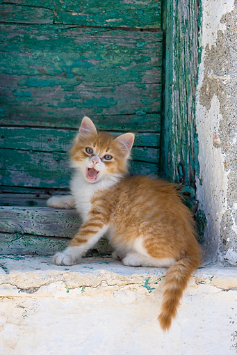 CAT 03 KH0187 01 © Kimball Stock Orange Tabby And White Greek Island Kitten Sitting By Green Wooden Shutter Yawning