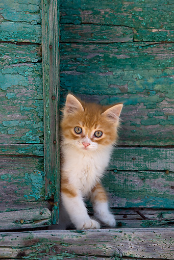 CAT 03 KH0190 01 © Kimball Stock Orange Tabby And White Greek Island Kitten Standing By Green Wooden Shutter