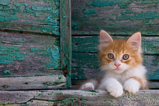 CAT 03 KH0191 01 © Kimball Stock Orange Tabby And White Greek Island Kitten Laying By Green Wooden Shutter