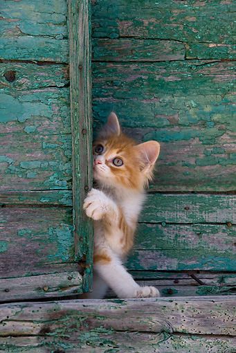 CAT 03 KH0192 01 © Kimball Stock Orange Tabby And White Greek Island Kitten Standing By Green Wooden Shutter