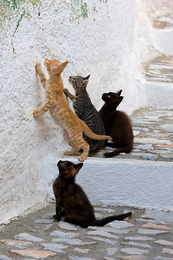 CAT 03 KH0207 01 © Kimball Stock Four Greek Island Kittens On Stairs Looking Up At Insect On Wall