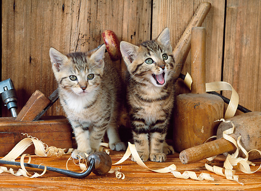CAT 03 KH0214 01 © Kimball Stock Two Brown Tabby Kittens Standing By Carpentry Tools