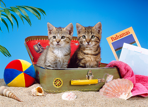 CAT 03 KH0218 01 © Kimball Stock Two Brown Tabby Kittens Sitting In Suitcase On Beach