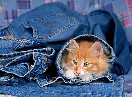CAT 03 KH0219 01 © Kimball Stock Norwegian Forest Cat Kitten Peeking Out Of Jeans Leg