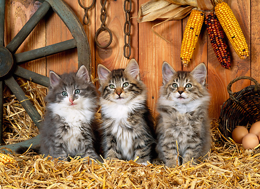 CAT 03 KH0226 01 © Kimball Stock Norwegian Forest Cat Kittens Sitting On Straw In Barn