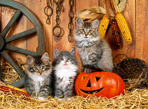 CAT 03 KH0227 01 © Kimball Stock Norwegian Forest Cat Kittens Sitting On Straw With Jack O' Lantern