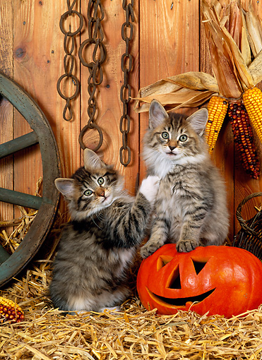 CAT 03 KH0228 01 © Kimball Stock Norwegian Forest Cat Kittens Sitting On Straw With Jack O' Lantern
