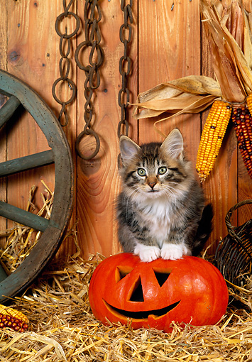 CAT 03 KH0229 01 © Kimball Stock Norwegian Forest Cat Kitten Sitting On Jack O' Lantern On Straw