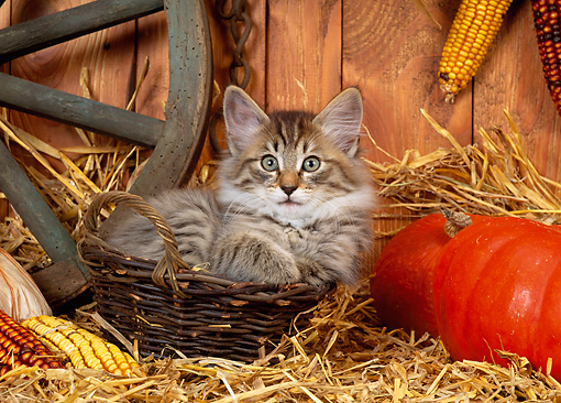 CAT 03 KH0230 01 © Kimball Stock Norwegian Forest Cat Kitten Sitting In Basket On Straw