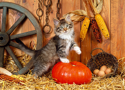 CAT 03 KH0231 01 © Kimball Stock Norwegian Forest Cat Kitten Standing By Pumpkin On Straw